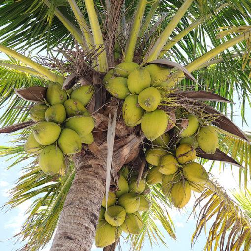 Kokosmussbaum-mit Frucht-Naroma.ch